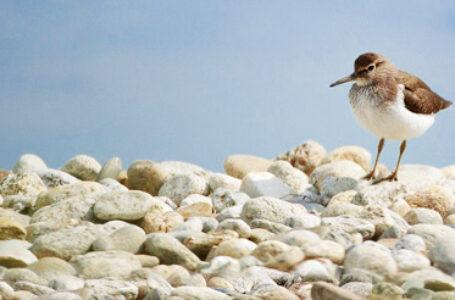 Anche il fratino torna a Bari: la sua presenza conferma la qualità della costa barese